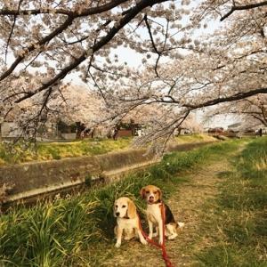 桜ってきれいだけど