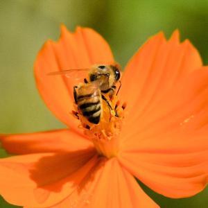 セイヨウミツバチ(西洋蜜蜂)