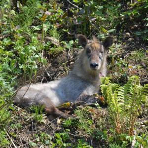 ニホンカモシカ(日本氈鹿)