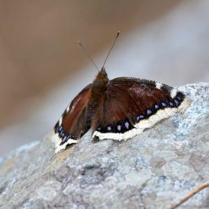 キベリタテハ(黄縁立翅)