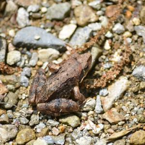 カジカガエル(河鹿蛙)