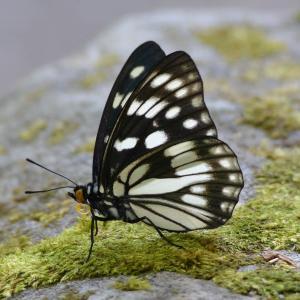 ゴマダラチョウ(胡麻斑蝶)