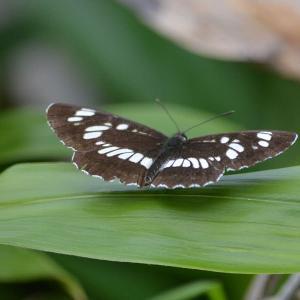 フタスジチョウ(二筋蝶)