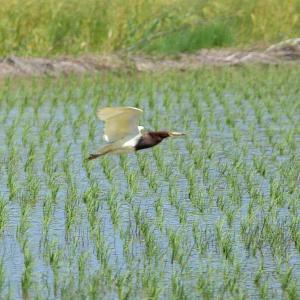 2021 アカガシラサギ(飛翔)