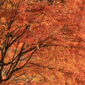 田貫湖の紅葉 ( 11/16 ・ EOS7DⅡ )
