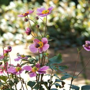やっと咲いてきた秋明菊
