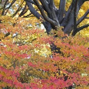 白柴の小太郎と古河総合公園の紅葉を探す