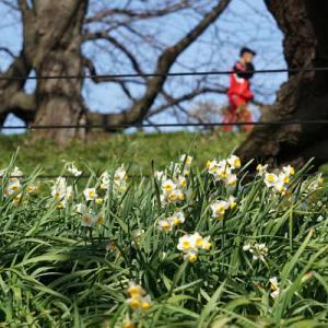 白柴の小太郎と水仙が咲く権現堂で散歩