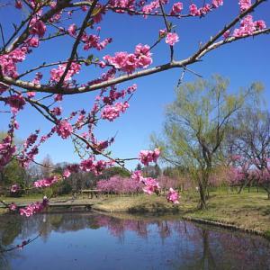 白柴の小太郎と古河総合公園の桃の花を楽しむ