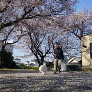 近所の桜・孫と白柴の小太郎