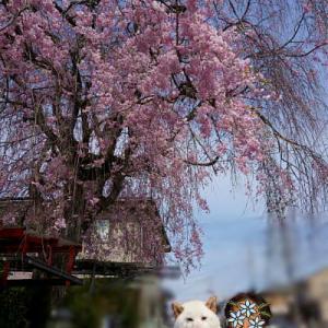 近所の枝垂れ桜とハナモモの花