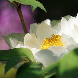 牡丹と白柴の小太郎