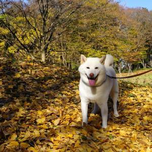 晩秋の公園を白柴の小太郎と散歩