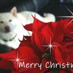 白柴の小太郎とクリスマス