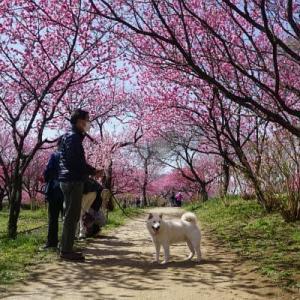 古河総合公園のハナモモ(矢口)の花が満開