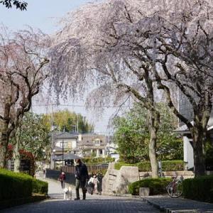 古河歴史博物館の枝垂れ桜