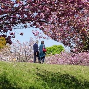 ネーブルパークで咲く八重桜