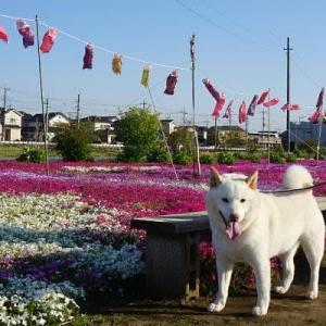 白柴の小太郎と鯉のぼり泳ぐ芝桜の花畑へ行く