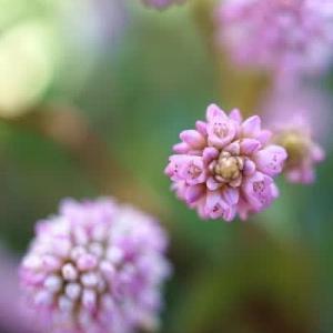 姫ツルソバとツワブキの花