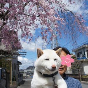 近所の枝垂れ桜と白柴 小太郎