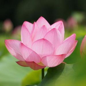 古河総合公園(古河公方公園)のハスの花