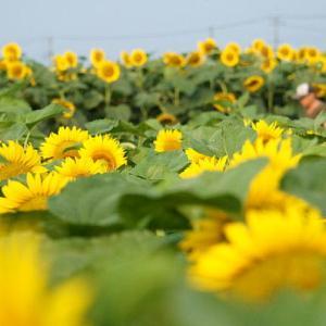 野木町のヒマワリ畑