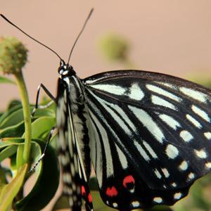 Swallowtail君臨