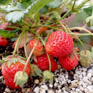 赤い実、収穫