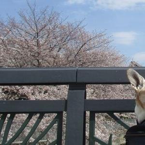 桜と老犬 2020