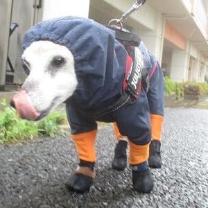 合羽で闊歩する老犬