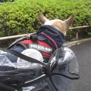 老犬 in the rain