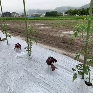 大玉トマトの着果と真竹を使ったメンマ作り