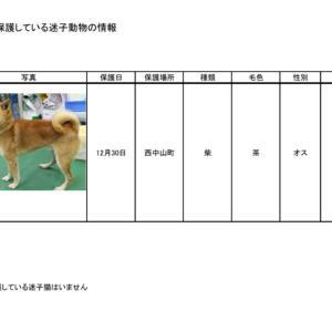 愛知県豊田市にて迷子収容!柴の男の仔!!