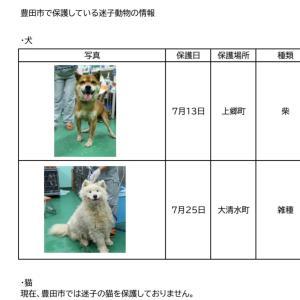 愛知県豊田市にて迷子収容!雑の大型犬、男の仔!