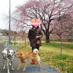 【里募・きんちゃん】しだれ桜を見てきたよ!