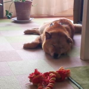 【里募・きんちゃん】のんびり、お昼寝~♪