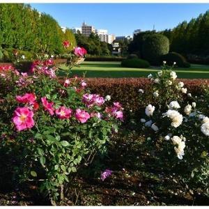 イギリス式庭園でバラを愛でる