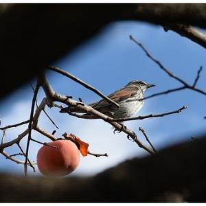柿を食い尽くす鳥