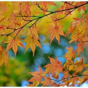 曇天の中綺麗な紅葉を探して