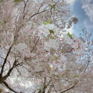 桜の見頃 困った人たち