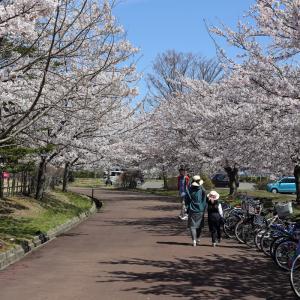 サンルーラル大潟の桜(秋田県南秋田郡大潟村)