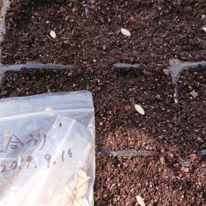 きゅうり、かぼちゃの種まき