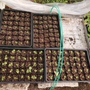 ほおずき植え替え終了とブロッコリー定植