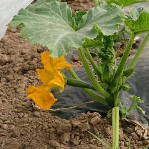 ズッキーニに花と韓国かぼちゃ定植