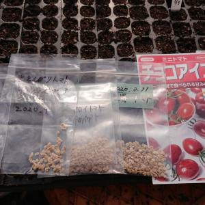 トマトの種まき