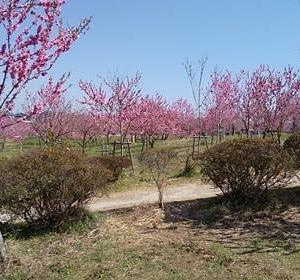 ★3/19(木) 桃の花を見ながら公園散歩 ★