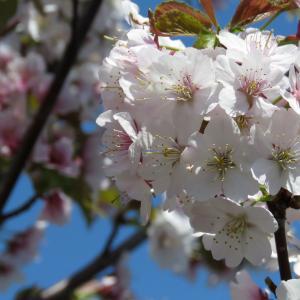 桜が咲いた~
