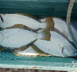 7月18日ヒラメ 小樽遊漁船シェイク