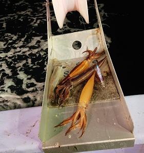 7月20日イカ、ヒラメ 小樽遊漁船シェイク