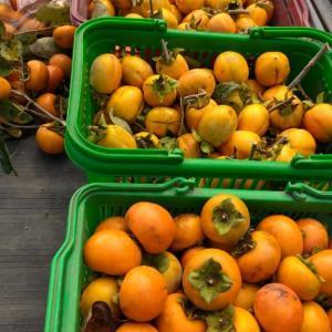 柿が大豊作